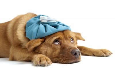 La toux de chenil: quatre vaccins à disposition