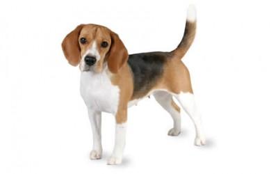 Case Report: Cas d'intersexualité chez un beagle.